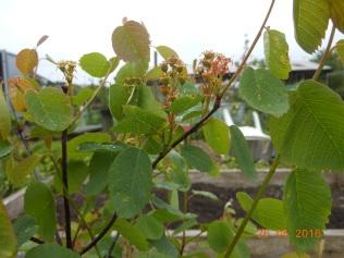 Saskatoon fruit
