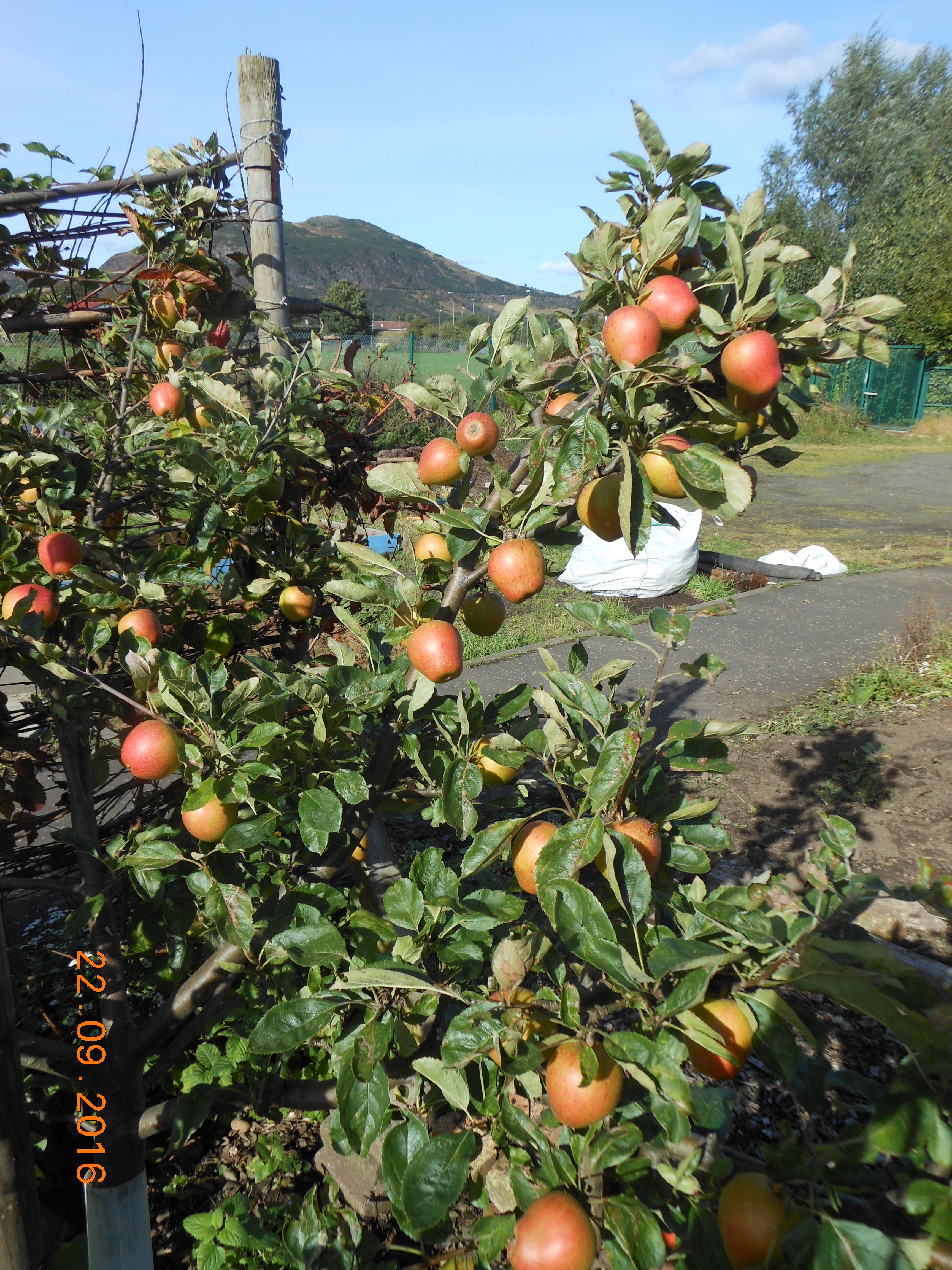 adams-pearman-apples