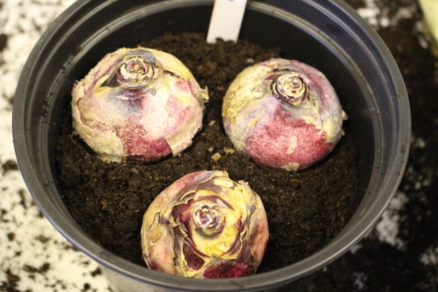 bulb4-three-hyacinth