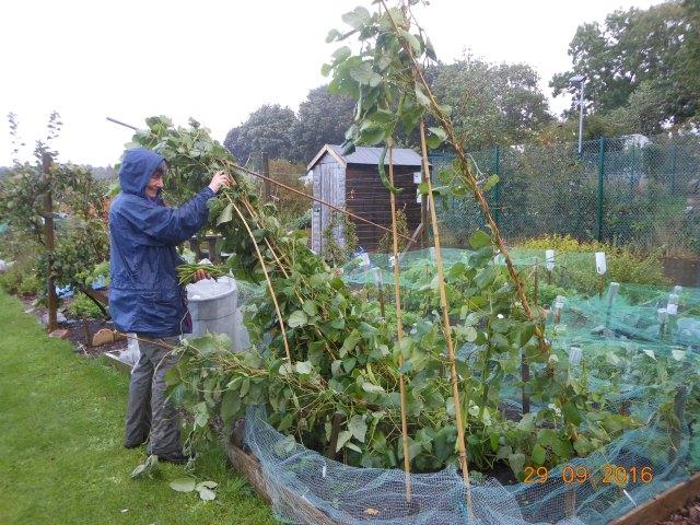 picking-runner-beans-in-the-rain