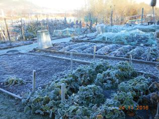 brassica-bed-in-the-frost