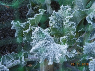 kale-in-the-frost