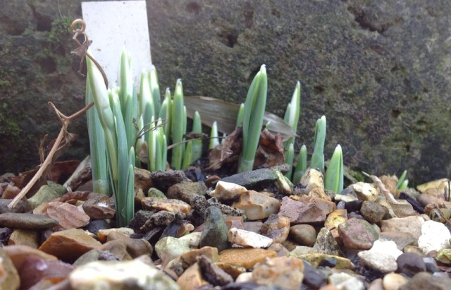The early Snowdrop