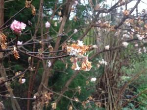 10-feb-frost-damage-on-viburnum