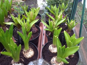10-feb-hyacinths-beginning-to-show-colour