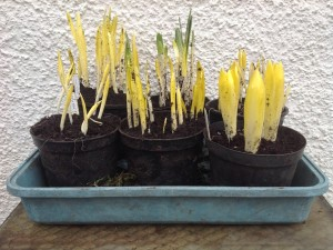 14-feb-caley-bulbs