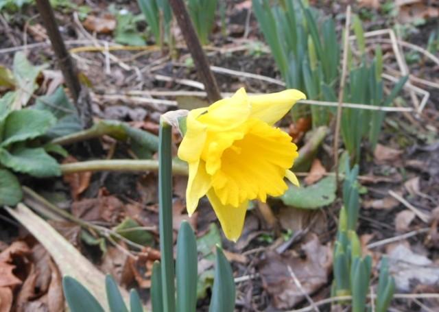 9-feb-daffodil