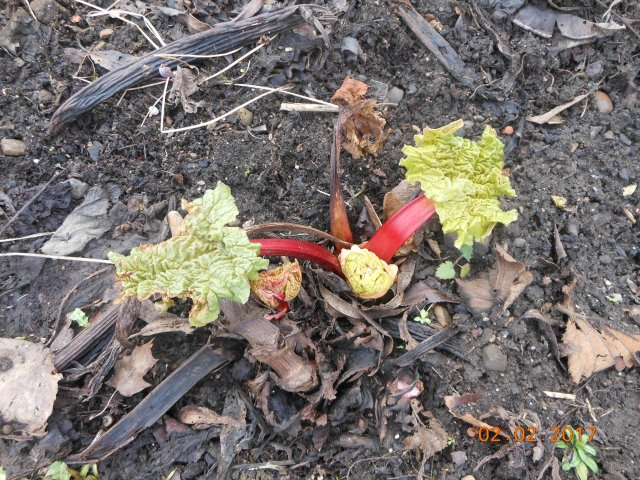 first-rhubarb-leaves