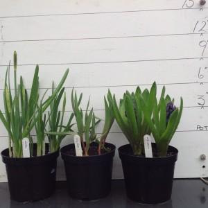 4-march-caley-hyacinths-plus