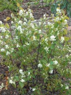 Saskatoon blossom