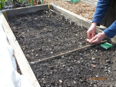 12 May Sowing the salad crops.