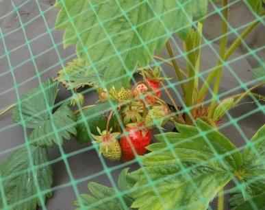 June 9 -First strawberries - variety 'Gariguette'