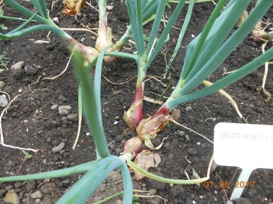 June 9 - Shallots thinned to 3 bulbs per plant