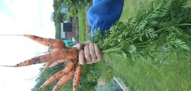 First picking of the carrots