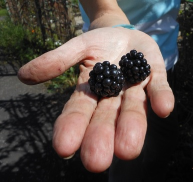 19 Aug - Large, juicy and sweet brambles