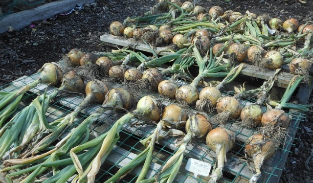 19 Aug - onions laid out to dry