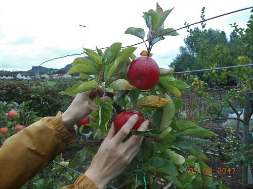 11 Sep. Checking the apples. (2)