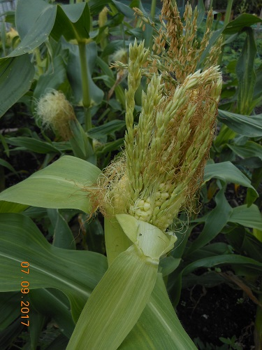 11 Sep. Strange Sweetcorn 2