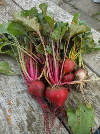 Beetroot mainly Barbietola di Chioggia