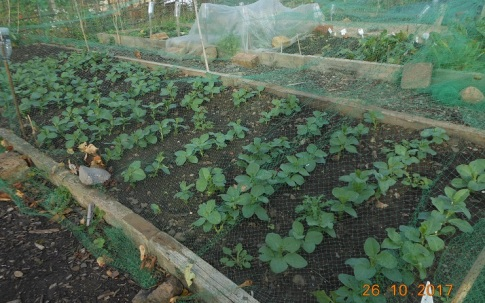 Field beans as green manure - excellent germination