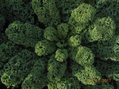 Dwarf Green Kale