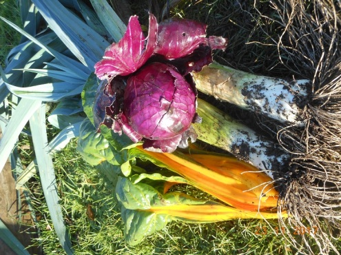 Red cabbage, yellow chard, blue leeks
