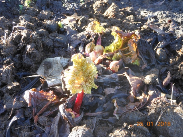 First leaves on the rhubarb