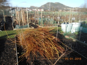 Willow prunings